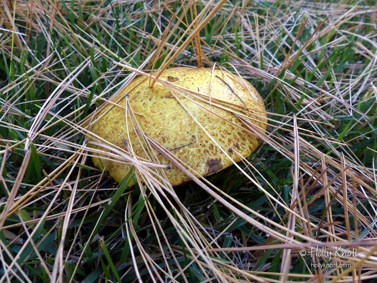 Yellow mushroom with pine needles