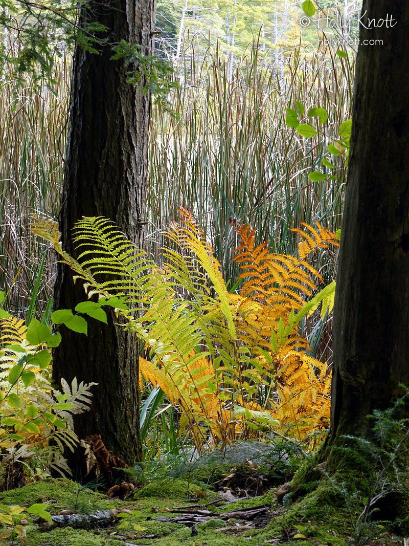 Autumnal ferns at Fountain Pond, Great Barrington