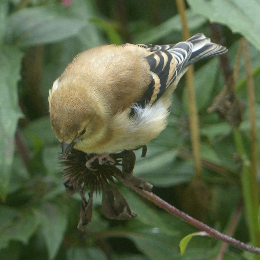 Goldfinch enjoying purple coneflower seeds