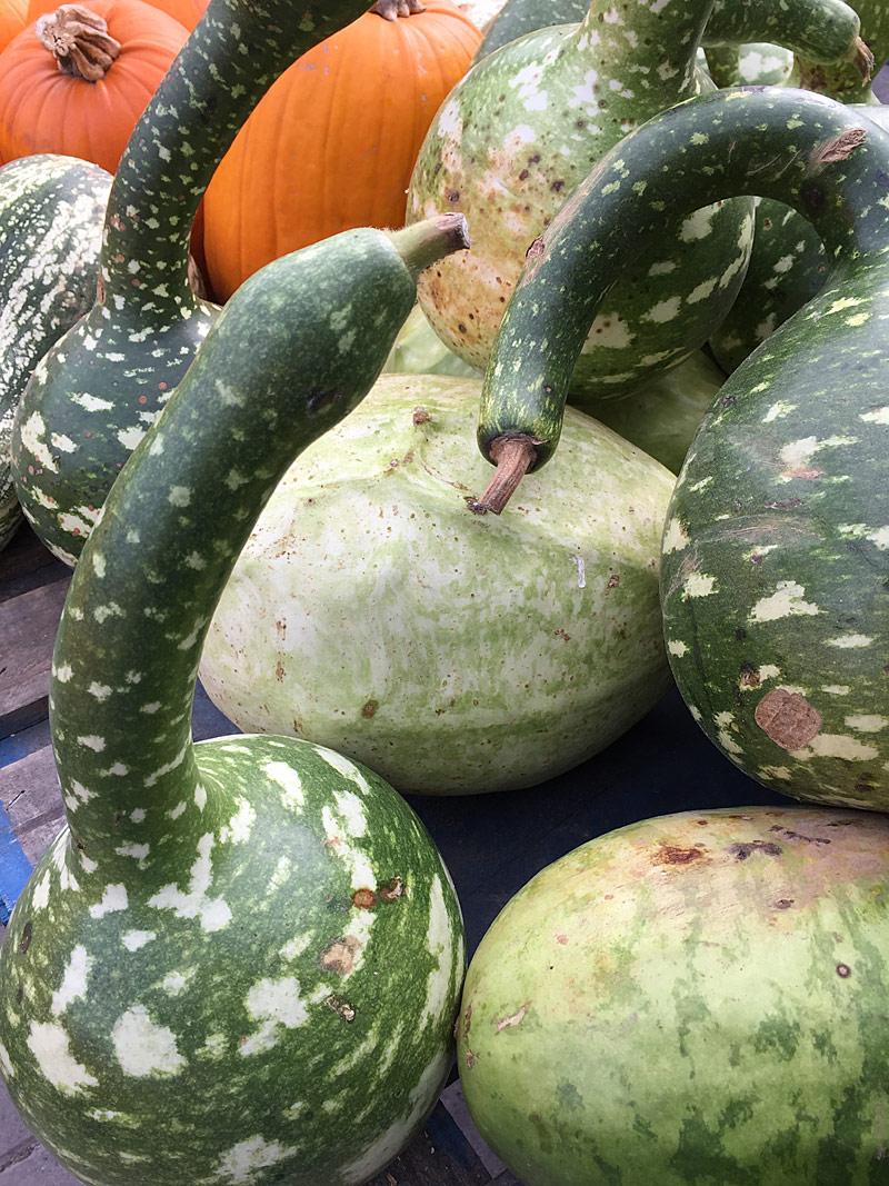 Gooseneck gourds