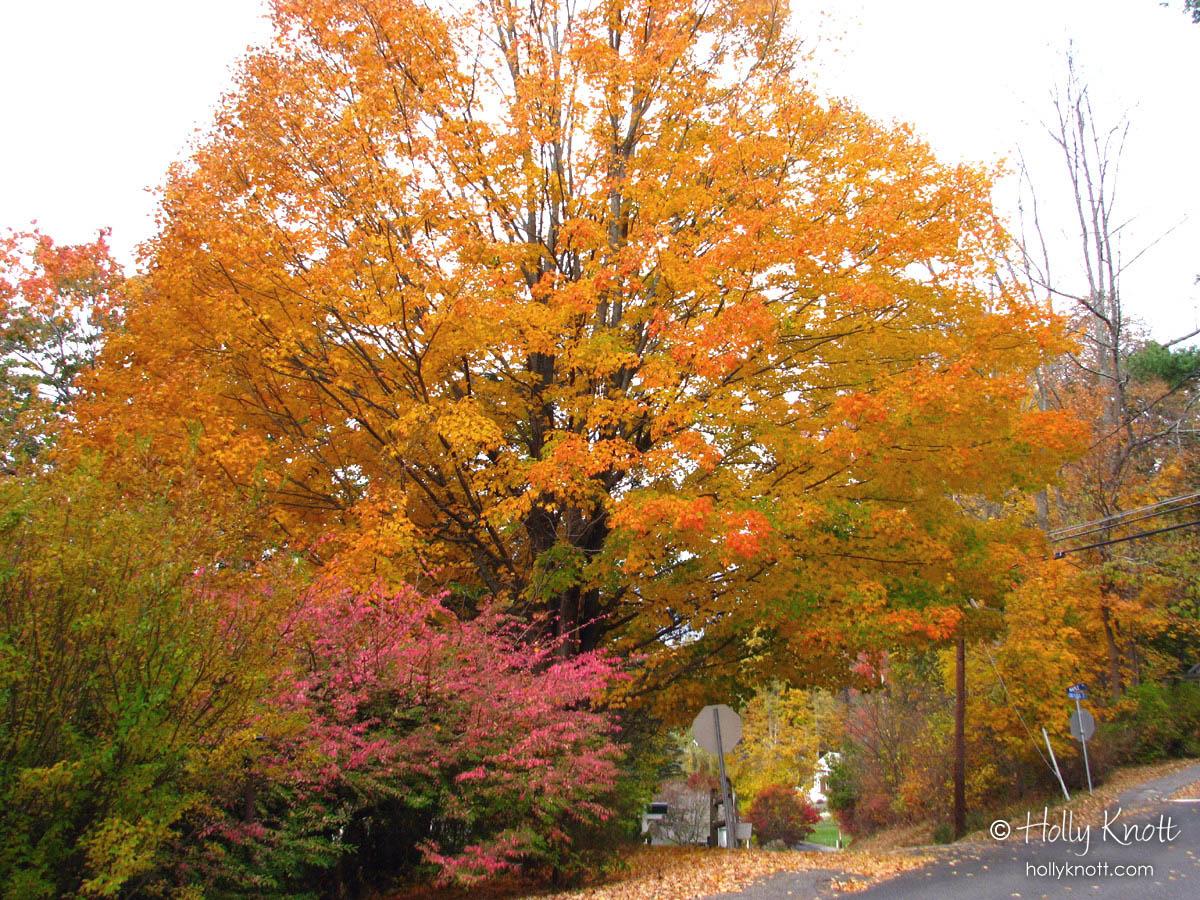 Pink burning bush and brilliant orange maple