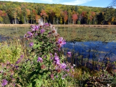 Asters along the foreground of Fountain Pond, Great Barrington