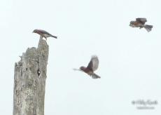 Bluebirds at Hop Brook Wildlife area, Tyringham, MA