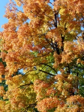 Explosion of color on a maple tree