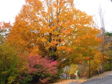 Pink burning bush and brilliant orange maple