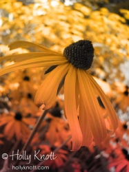Black eyed Susans, altered in Photoshop