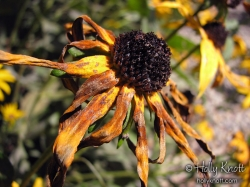 Black eyed Susans in fall