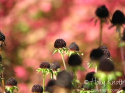 Coneflowers and burning bush