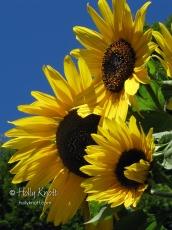 Sunflowers against a deep blue early autumn sky