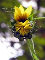 Sunflower unfurling