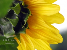 Sunflower, closeup