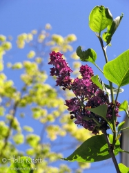 Lilacs and Maples against the sky