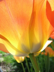 Glowing orange tulip