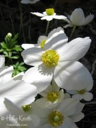 Snow Anemone