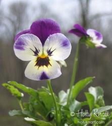 Happy Viola