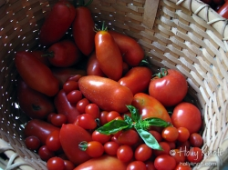 A large tomato harvest