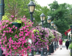 Lush baskets of petunias line the shopping district