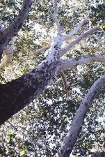 Sycamore branch