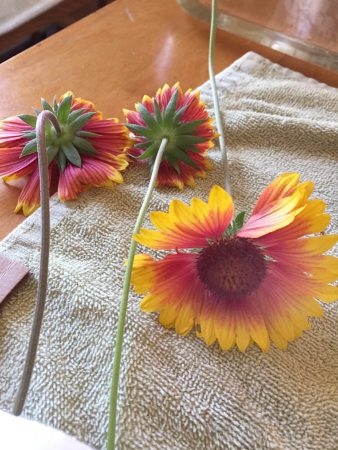 mexican blanket flower