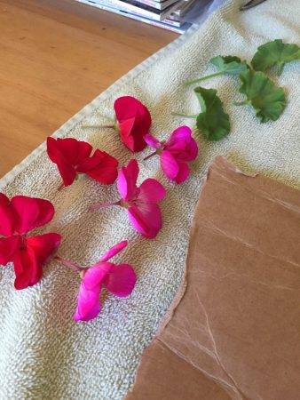 Geraniums for dyeing