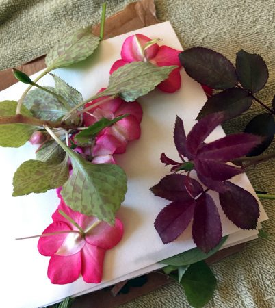 Roses and impatiens for dyeing